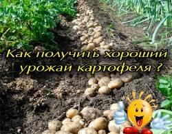 Старинные методы выращивания картофеля