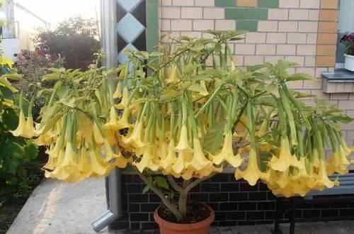 Бругмансия - выращивание из семян в домашних условиях, видео