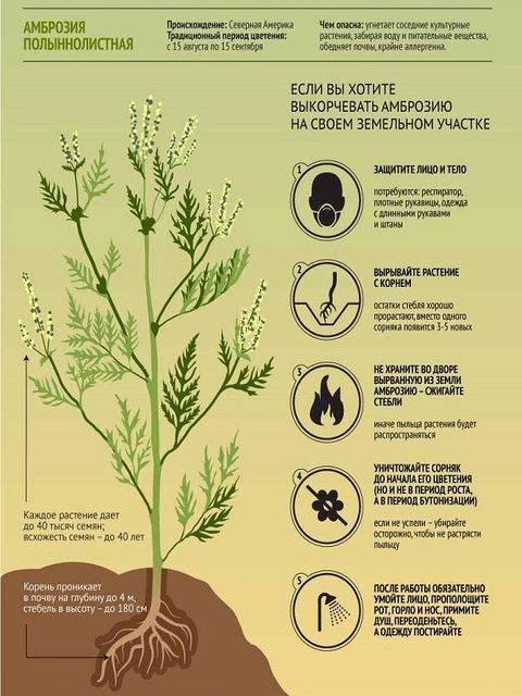 Амброзия фотографии. амброзия — фото растения, описание, польза и вред