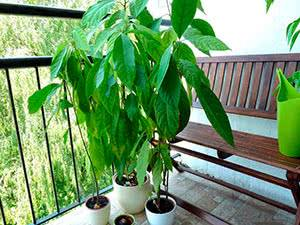 Как вырастить авокадо из косточки в домашних условиях, тонкости ухода