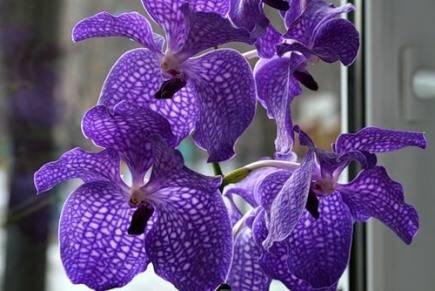 Орхидея ванда: описание и уход в домашних условиях
