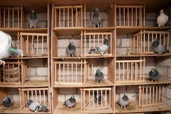 Особенности питания голубей в уличных и домашних условиях