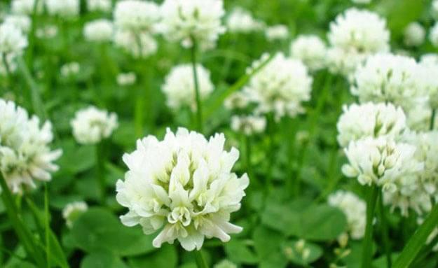 Газон из клевера - мягкая лужайка для приятного отдыха