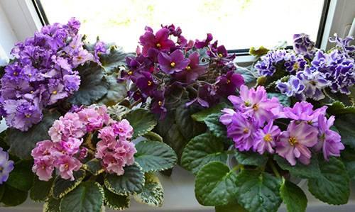Пионы «мсье жюль эли»: описание сорта и особенности выращивания