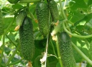 Как получить хороший урожай огурцов, выращивание методом гидропоники
