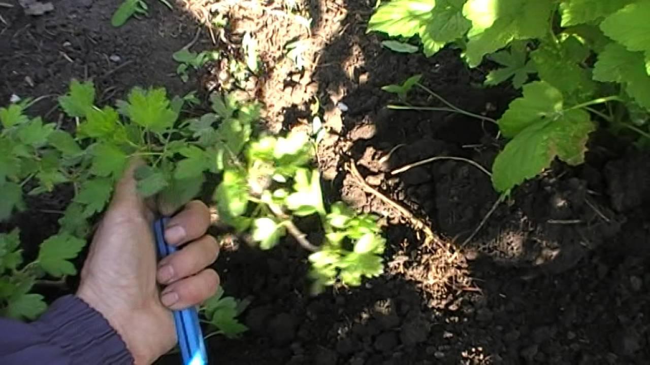 Как размножить крыжовник осенью черенками: зелеными, одревесневшими, отводками