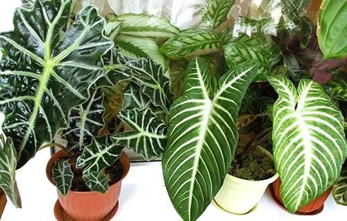 Комнатная алоказия — правила ухода за цветком в домашних условиях