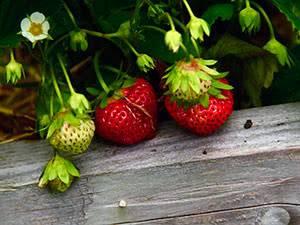 Выращивание клубники: лучшие способы и правила посадки