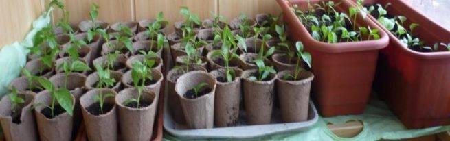 Как высаживать рассаду в торфяных горшочках