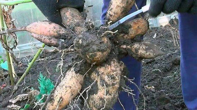 Хранение корневищ и луковиц георгинов зимой в домашних условиях