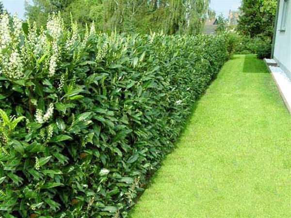 Украшаем участок живой изгородью: быстрорастущие многолетние растения, подходящие для формирования оград