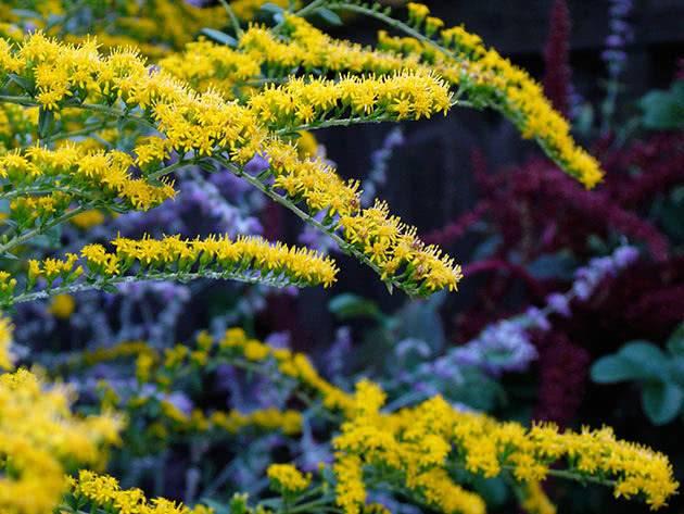 50 фото разных видов и сортов золотарника его полезные свойства и противопоказания
