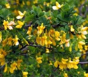 Акация кустарник — описание желтой и белой акации