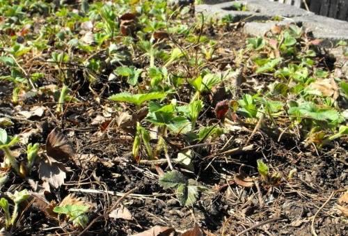 Садовая орхидея трициртис - выращивание и уход в саду, видео