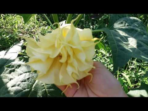 Цветок дурман или датура — особенности выращивания на садовом участке