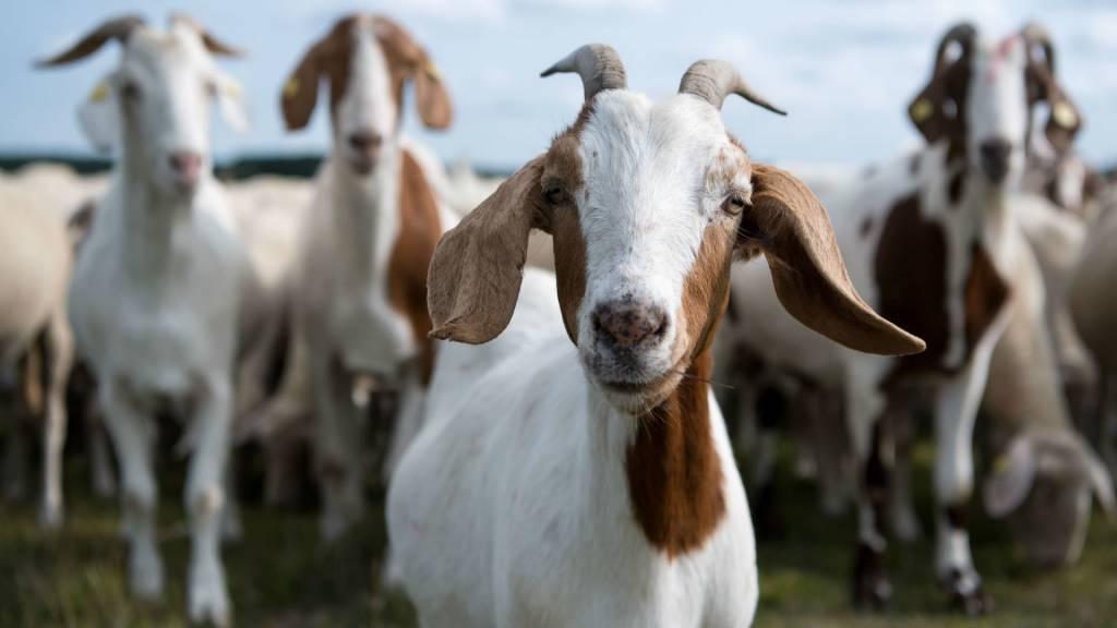 Вымя козы