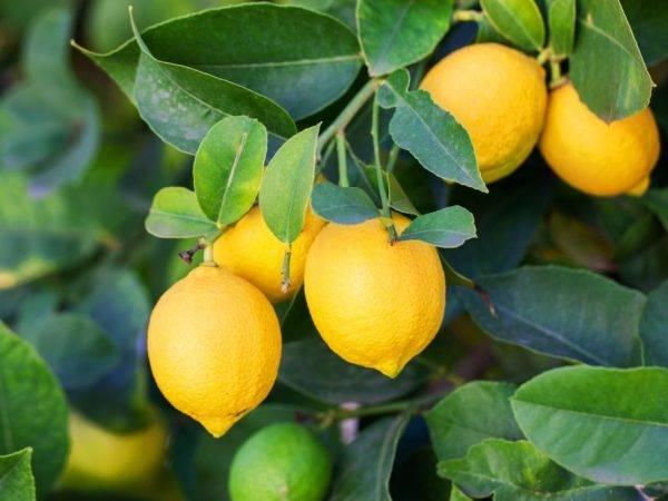 Бонсай из лимона — как вырастить в домашних условиях