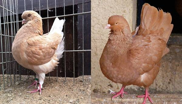 Разведение мясных голубей как бизнес, содержание, откорм, видео