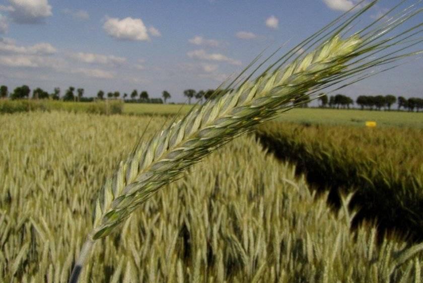 Тритикале — гибрид ржи и пшеницы на полях нашей страны