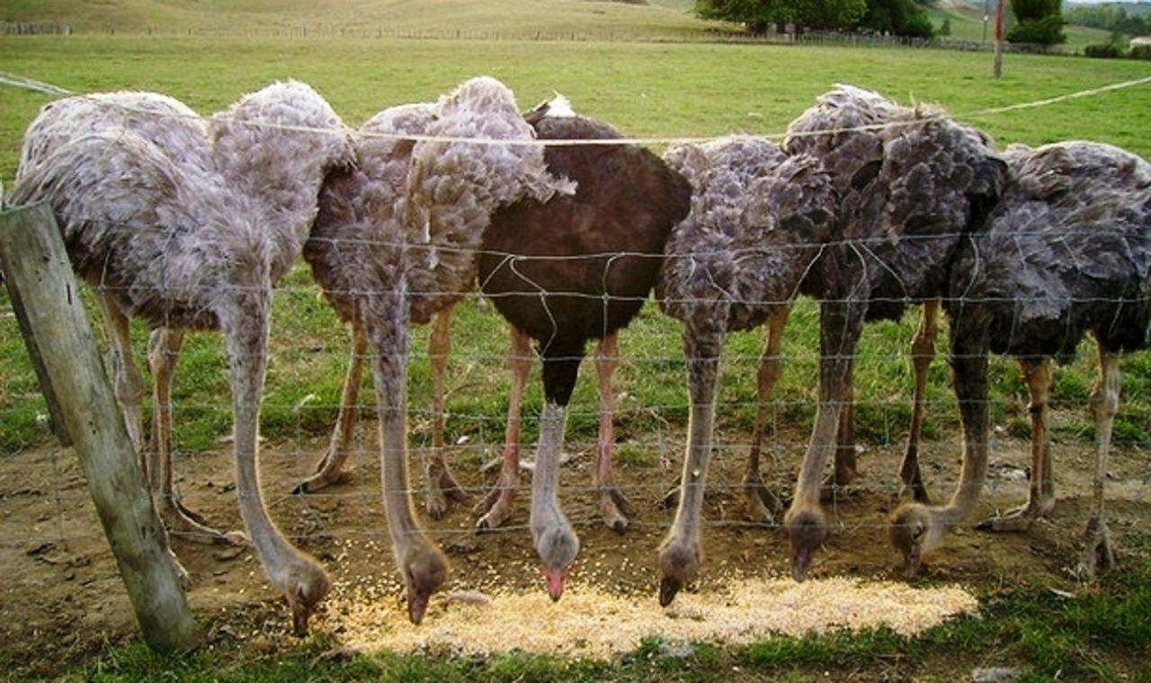 Как выращивать страусов в домашних условиях
