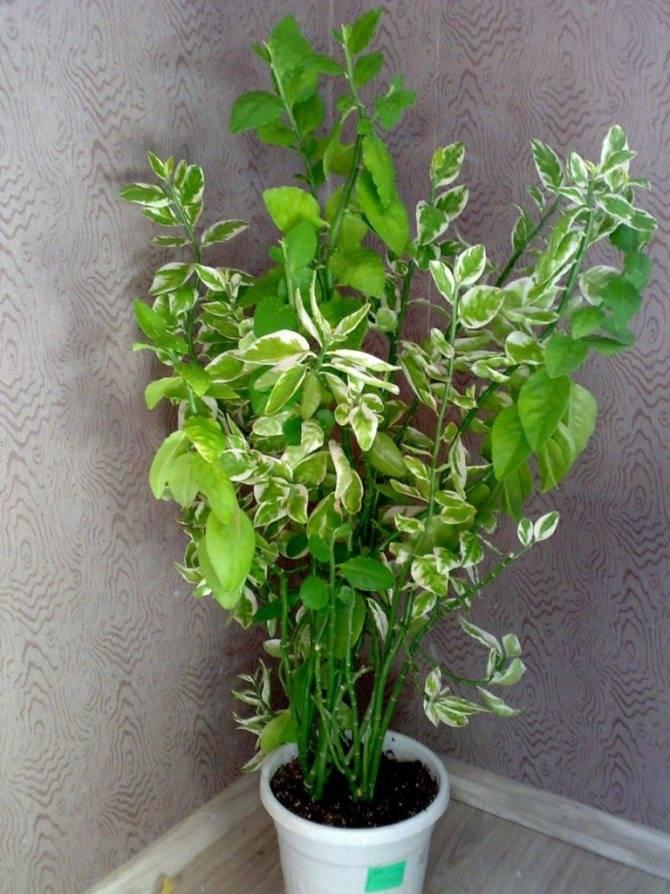 Самые популярные виды педилантуса для выращивания дома