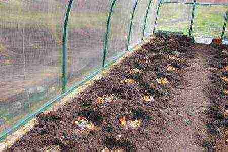 Удобрение из картофельного отвара для рассады