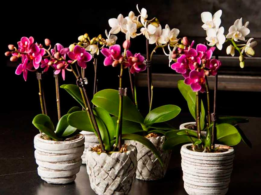 Как поливать цветущую орхидею