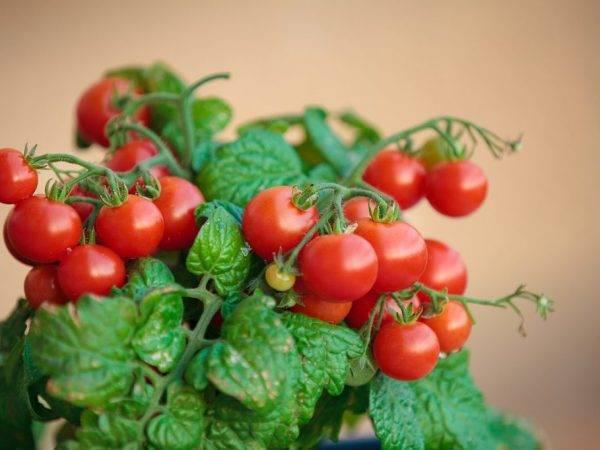 Особенности выращивания помидор черри на подоконнике