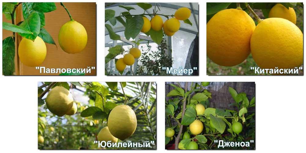 Лимон мейера: уход в домашних условиях, размножение