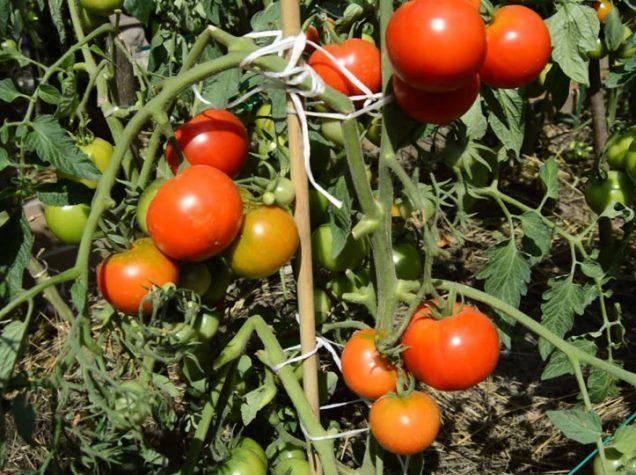 45 секретов небывалого урожая томатов