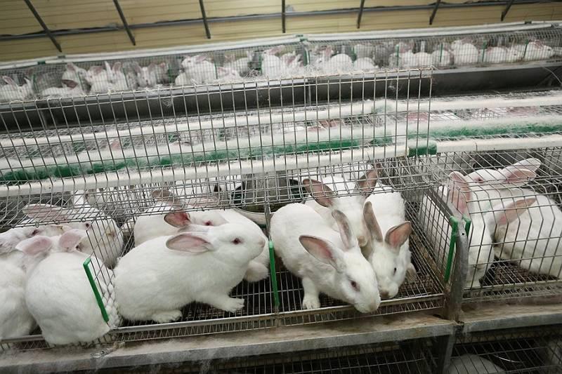 Выгоден или нет бизнес по разведению кроликов, плюсы и минусы и как организовать