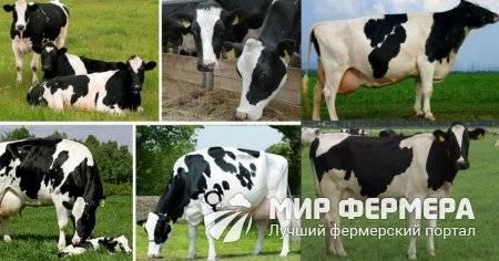 Мясомолочные коровы: отличительные характеристики, список самых популярных пород