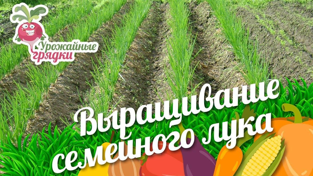 Выращивание из семян деликатеса: лук шалот и лук кущевка