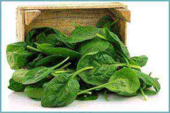 Как вырастить шпинат дома на подоконнике?