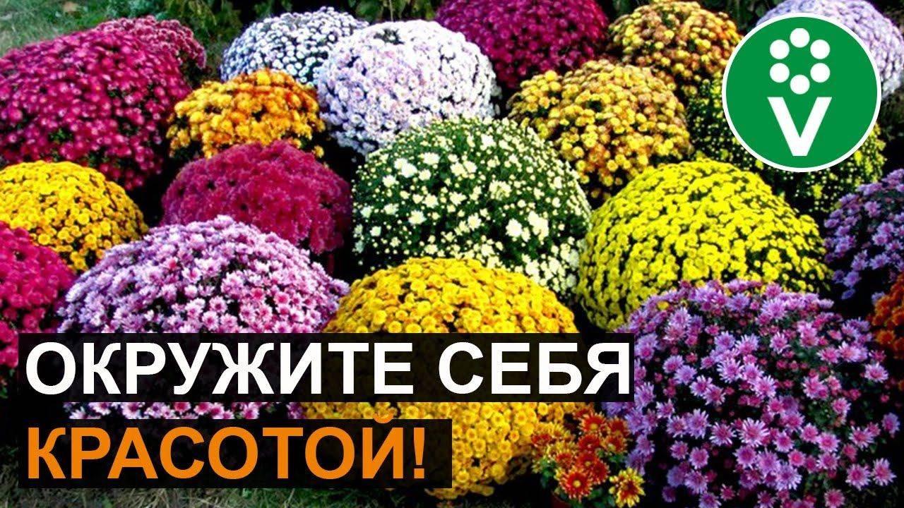 Размножение хризантем черенкованием и делением куста