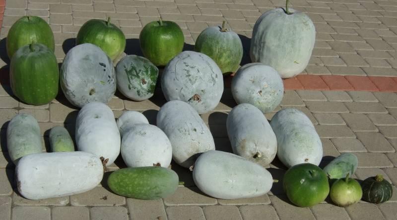 Описание овоща бенинказа — особенности посадки и ухода за восковой тыквой