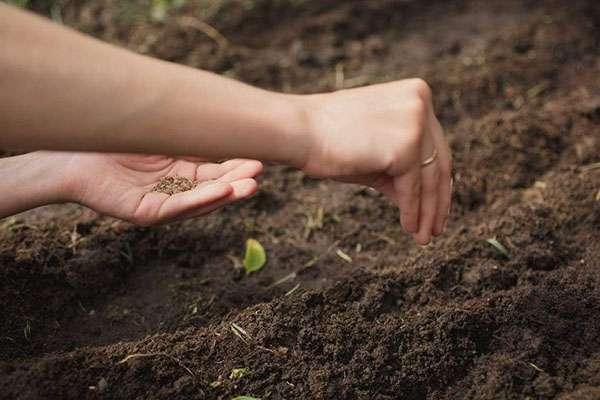 Майоран в открытом грунте: выращиваем из семян и получаем душистую приправу