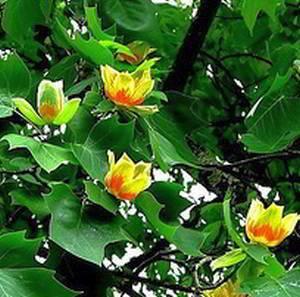 Тюльпанное дерево магнолия: особенности выращивания и ухода