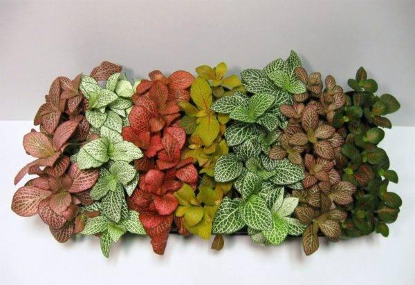 Уход за цветком «фиттония» в домашних условиях, варианты размножения