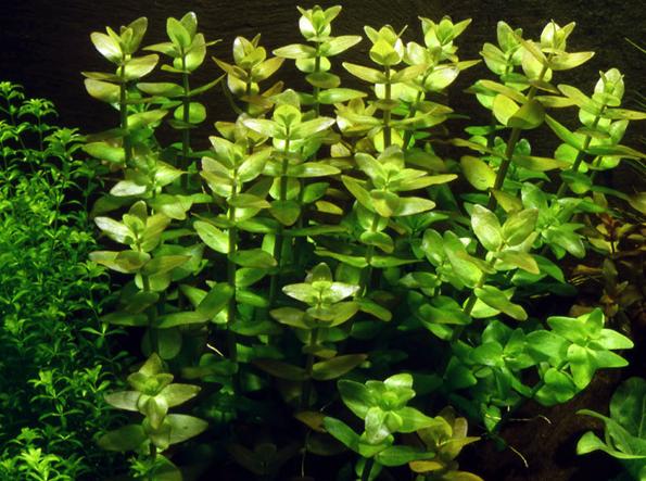 Как вырастить дома бакопу из семян: пошаговая инструкция с видео!