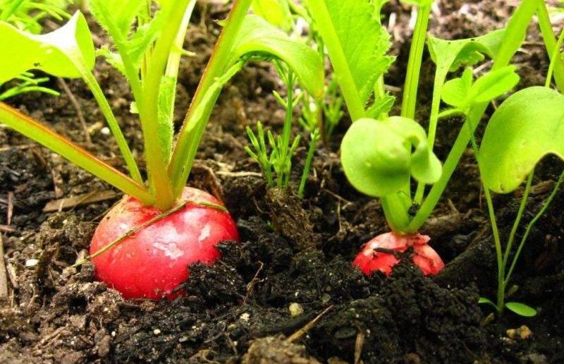 Нюансы выращивания редиски в теплице. в чем отличия в посадке овоща ранней весной и в другое время?