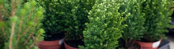 8 правил о том, как ухаживать за домашним кипарисом и его необычайные полезные свойства
