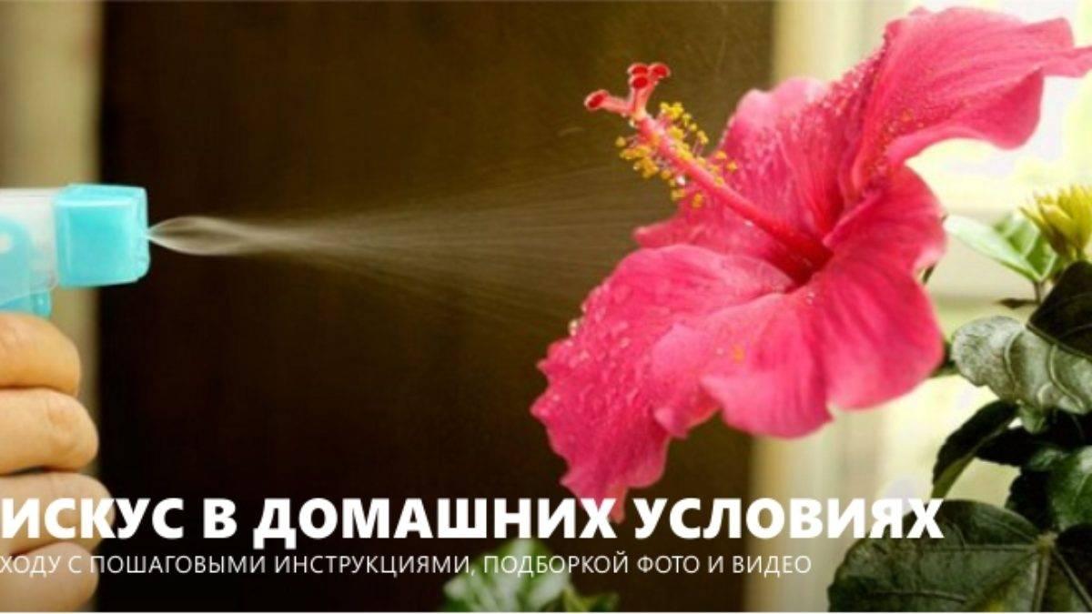 Секреты выращивания гибискуса в домашних условиях
