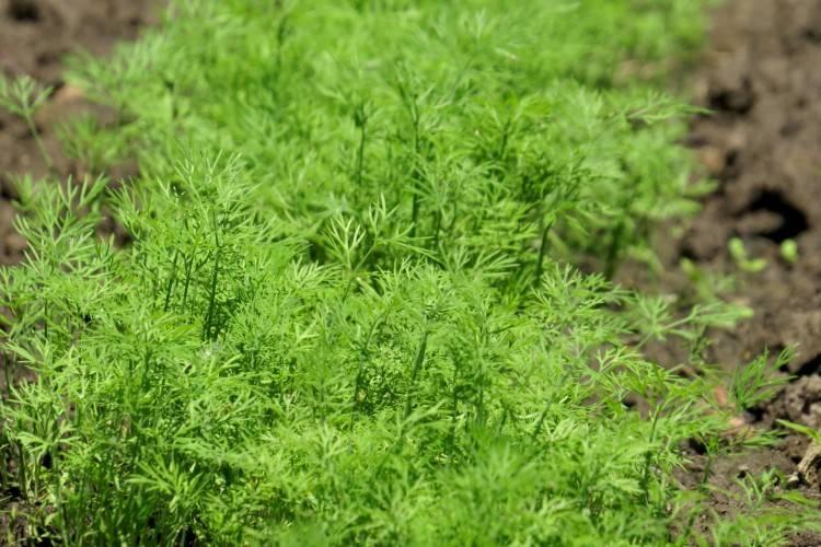 Как вырастить хороший кустовой укроп?