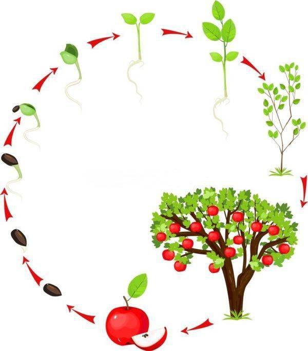 Периоды вегетации и покоя у плодовых и ягодных культур