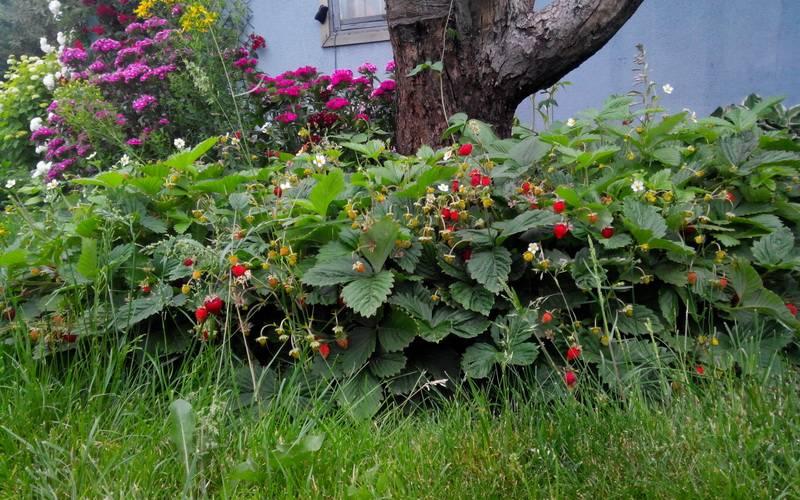 Садовая земляника для областей северо-запада: описания сортов с фото