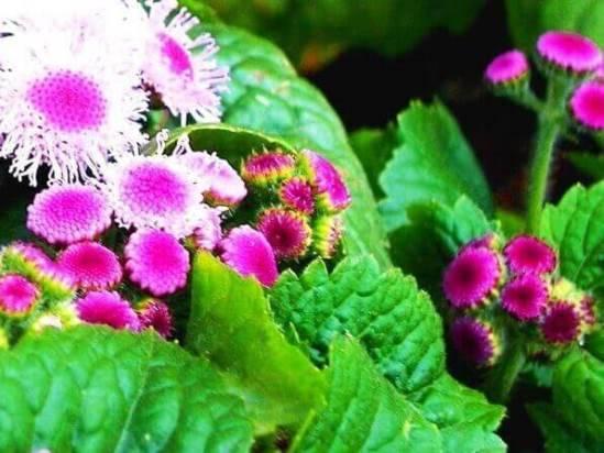 Агератум бонжур. агератум: посадка и уход, выращивание из семян