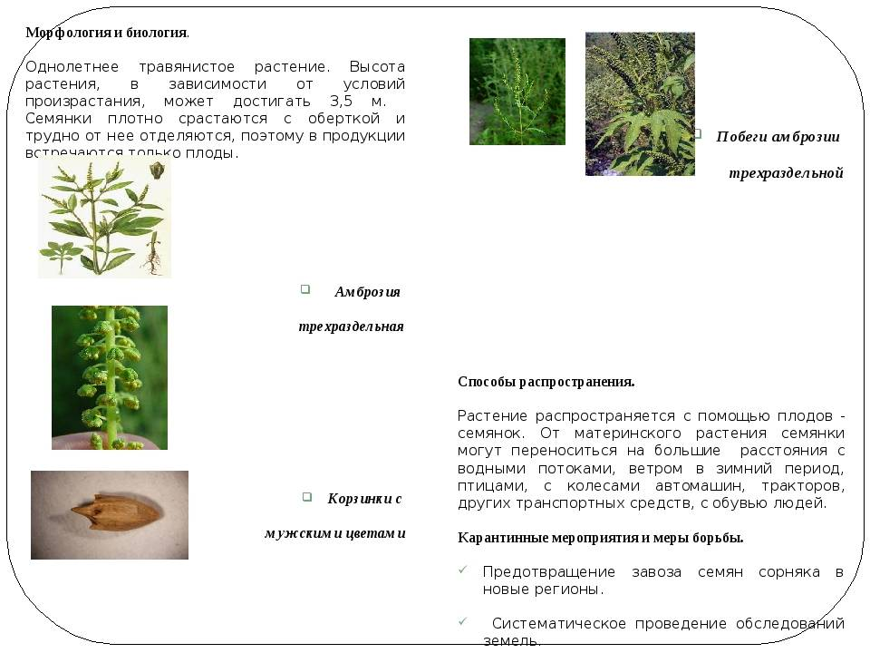 Полезные и вредные свойства амброзии