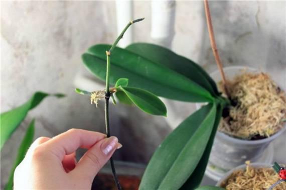 Размножение различных видов орхидей