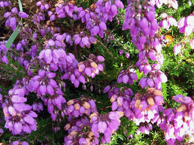 Вереск в саду, красивые идеи для сада